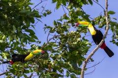 Кил-представленное счет toucan sulfuratus Ramphastos Стоковая Фотография