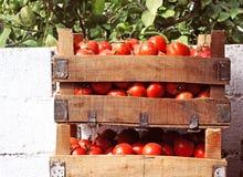 кладет томаты в коробку Стоковое фото RF