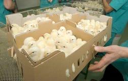 кладет цыплят в коробку Стоковые Изображения