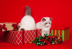 кладет ragdoll в коробку подарка котов расследуя Стоковая Фотография RF