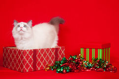 кладет ragdoll в коробку подарка котов расследуя Стоковое Фото