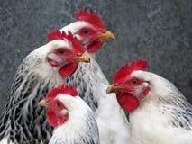 Кладя курицы в птицеферме Стоковая Фотография RF