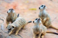 Клан suricatta Suricata Meerkats Стоковые Изображения