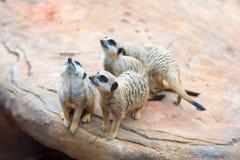 Клан suricatta Suricata Meerkats Стоковое Изображение RF