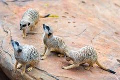 Клан suricatta Suricata Meerkats Стоковое Изображение