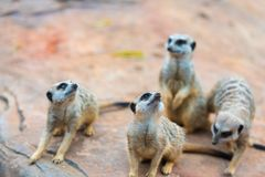 Клан suricatta Suricata Meerkats Стоковая Фотография RF