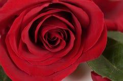 классицистическая роза красного цвета одиночная Стоковые Изображения