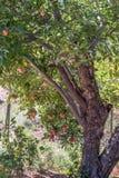 Классическая яблоня, вертикальный формат, яблоки естественного органического зрелого красного Heirloom очень вкусные органические Стоковое Изображение