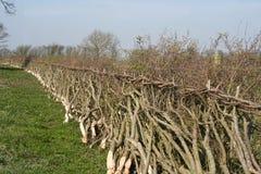 класть изгороди Англии традиционный Стоковые Изображения
