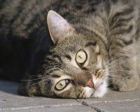 класть кота Стоковая Фотография RF