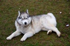 класть собаки земной Стоковые Изображения RF