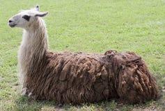 класть llama Стоковая Фотография