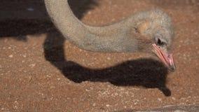 Клевать страуса главный на земных небольших камнях в медленн-mo акции видеоматериалы