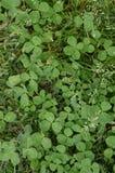 4 клевера лист удачливых между клеверами лист дерева Стоковые Изображения
