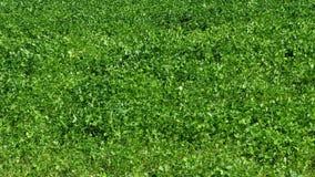 Клевер в pratense Trifolium луга видеоматериал