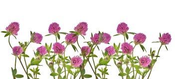 клевер цветет розовая белизна Стоковое Фото