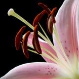 клейма лилии цветеня пыльника Стоковые Фото
