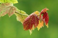 Кленовые листы весны с росой Стоковое Фото