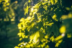 Кленовые листы в лете в солнце в течение дня стоковые изображения rf