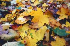 Кленовые листы в Стокгольме стоковые изображения rf