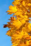 Кленовые листы в цветах осени Стоковая Фотография RF