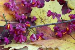 кленовые листы и цветки Стоковая Фотография RF