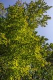 Кленовые листы как раз начиная поворачивать цвет стоковые фотографии rf