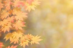Кленовые листы красочные, абстрактные для космоса предпосылки или экземпляра для Стоковое Изображение RF