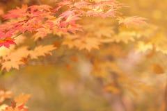 Кленовые листы красочные, абстрактные для космоса предпосылки или экземпляра для Стоковые Фото