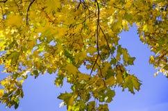 Кленовые листы на предпосылке голубого неба стоковая фотография