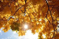 Кленовые листы осени в предпосылке солнца Стоковые Фото