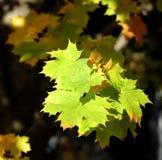 Кленовые листы осени Стоковые Фотографии RF