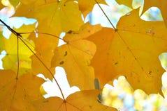 Кленовые листы сахара стоковое фото