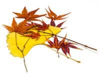 Кленовые листы Стоковое фото RF