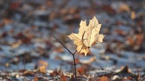 Кленовый лист вставленный на хворостине дуя в ветерке сток-видео