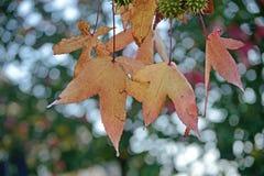 Кленовый лист в живых цветах осени и некотором падении воды стоковое изображение rf
