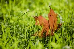 Кленовый лист в траве стоковые фотографии rf