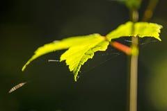 Кленовый лист в back-light с сетями паука Стоковая Фотография