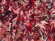 Кленовый лист красного цвета autump концепции предпосылки Стоковое Фото