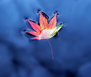 Кленовый лист на воде Стоковые Изображения RF