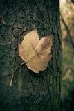 Кленовый лист на дереве Стоковое Фото