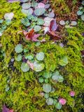 Кленовый лист на папоротнике стоковая фотография rf