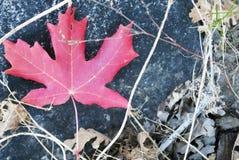 Кленовый лист на утесе стоковые фото