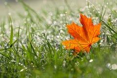 Кленовый лист осени в росной траве Стоковая Фотография RF