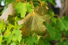 Кленовый лист осени на дереве стоковое фото