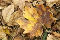 Кленовый лист осени сухой 2008 листьев листьев рощи сухого падения осени воздуха золотистых около дуба России -го октября поворач Стоковое Изображение RF