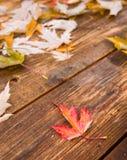 Кленовый лист падения Стоковые Фото