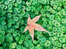Кленовый лист упал к траве стоковые фото