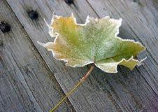 Кленовый лист Стоковое Изображение RF