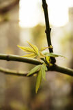 клен ветви золы leaved стоковые фотографии rf